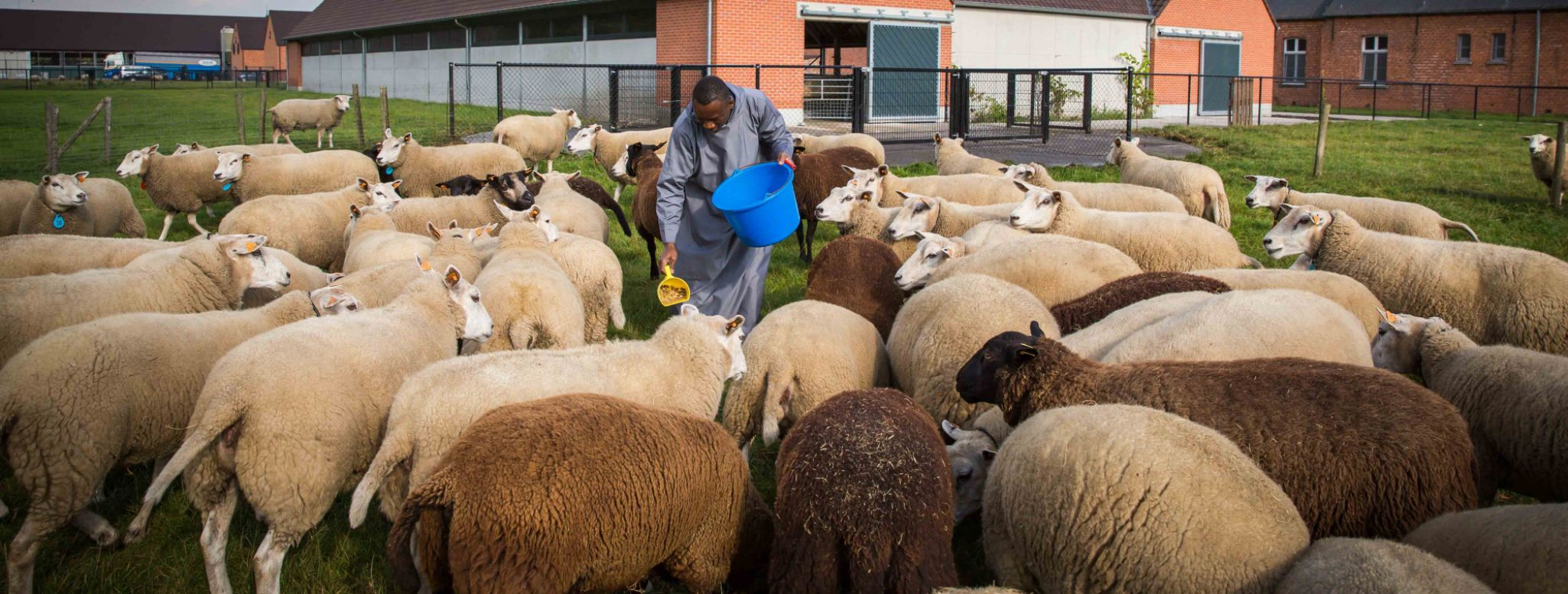 A monk stands amongst the sheep to feed them.