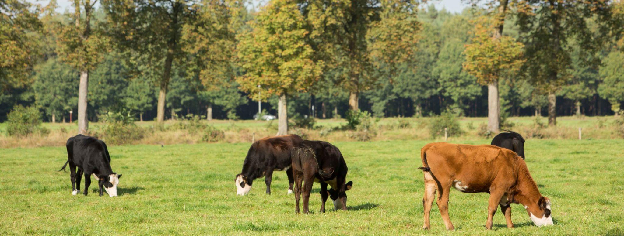 Koeien boerderij van de Abdij der Trappisten Westmalle