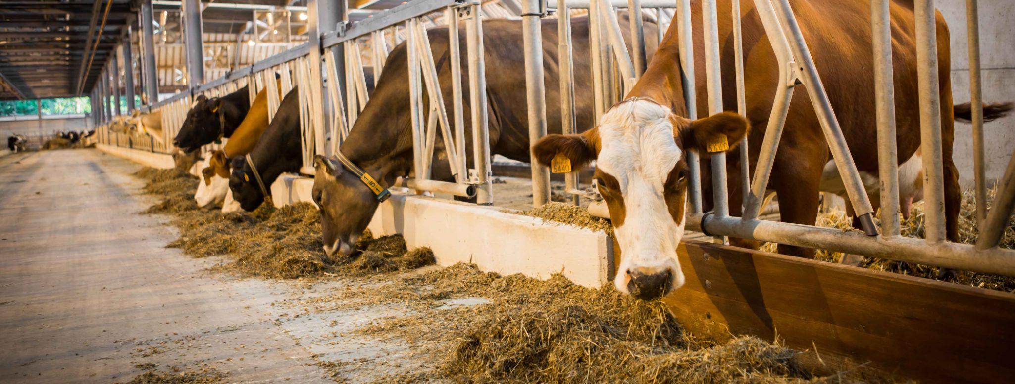Vacas comiendo en el establo