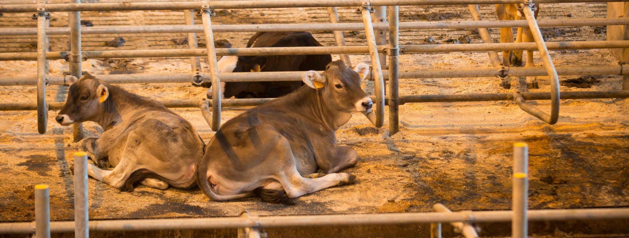 Koeien in moderne bindstal - boerderij van de Abdij der Trappisten Westmalle