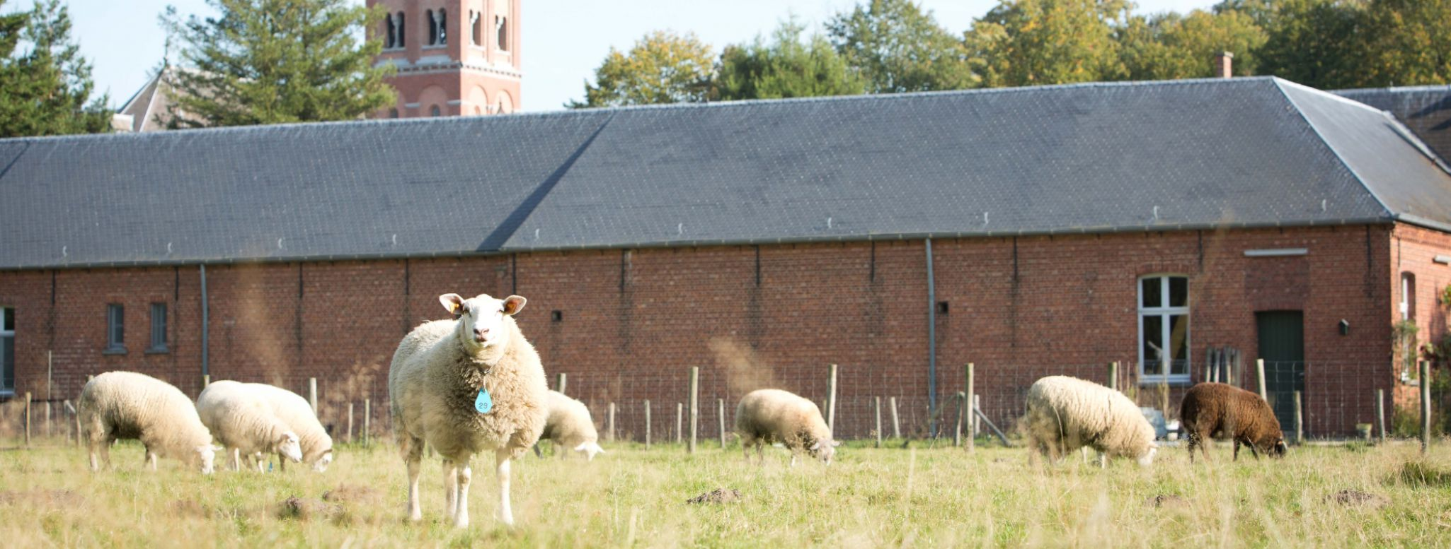 Sheep grazing around Westmalle abbey