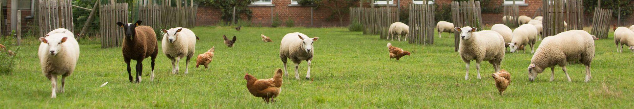 le pecore e le galline circolano libere in un campo tra le mura dell'abbazia.