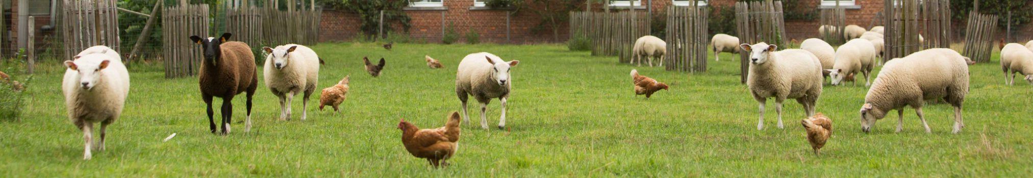 Les moutons et les poules évoluent en liberté dans un pré à l'intérieur des murs de l'abbaye